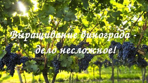 Уход осенью за виноградом на Урале. Секреты успешного виноградарства!