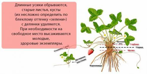 Как готовить клубнику на зиму в огороде. Подготовка клубники к зимнему укрытию