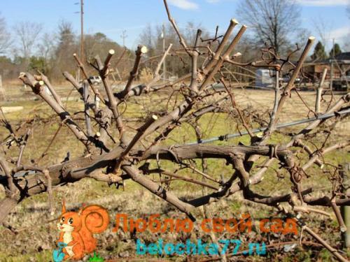 Как обработать на зиму виноград. Уход за виноградом осенью