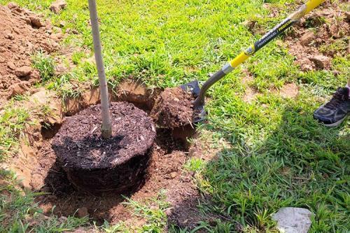 Когда лучше сажать плодовые деревья в подмосковье весной или осенью. Пересадка деревьев