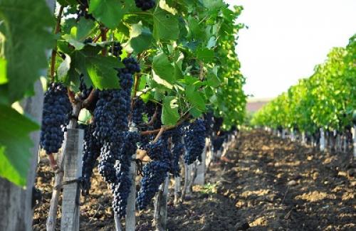 На какой год виноград дает урожай. Когда куст начинает давать урожай?