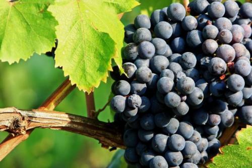 Почему виноград не вызревает. Как ускорить процесс созревания плодов винограда