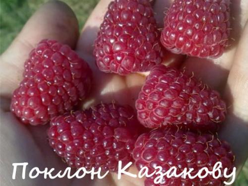 Малина лучшие сорта для Сибири. Лучшие сорта малины для Сибири