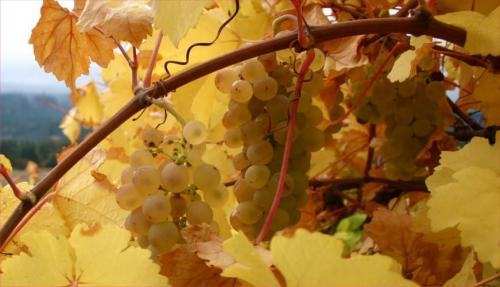Как обработать виноград на зиму. Осенние процедуры по уходу за виноградом