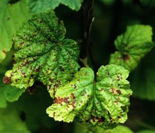 Почему у смородины чернеют листья. Распространённые грибковые заболевания