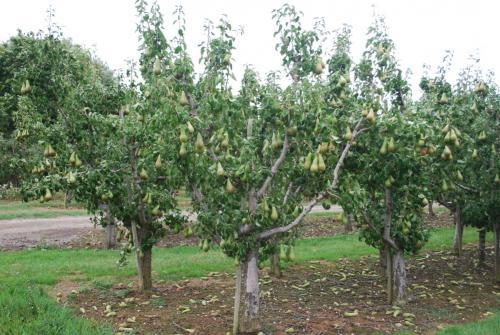 Какое расстояние между яблонями. Скакими деревьями ирастениями можно высаживать яблони
