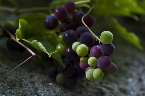 Недозревший виноград, что делать. Можно ли делать вино из недозревшего винограда
