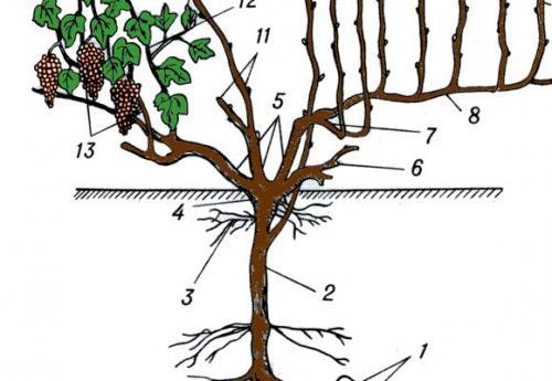 Что такое виноградная лоза. Строение лозы