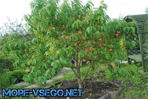 Как вырастить персик из косточки на даче. Как посадить персик на даче в открытый грунт
