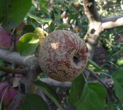 Почему гниют яблоки на яблоне, что делать. Почему яблоки гниют прямо на дереве и что с этим делать