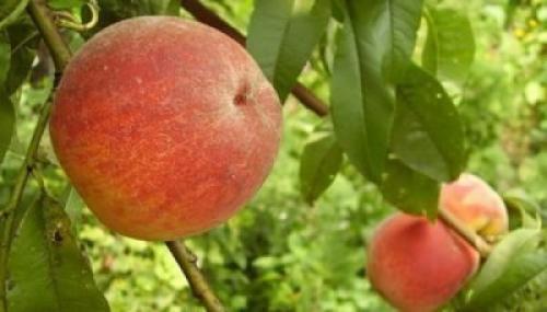 Борьба с курчавостью персика. Правила успешного лечения