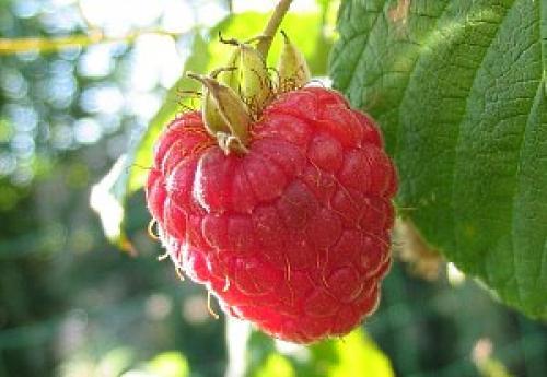 Ремонтантная малина это, что. Выращивание малины ремонтантной – особенности растения и уход
