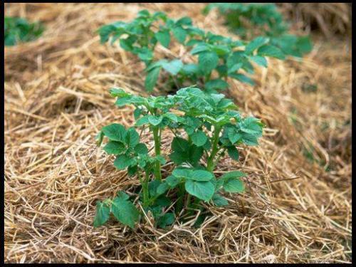 Посадка картошки в солому пошагово. Преимущества выращивания картофеля под органическим укрытием