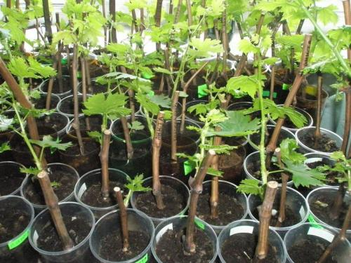 Как посадить черенками малину осенью. Осеннее черенкование малины