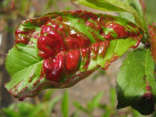 Фитоспорин от курчавости персика. Курчавость листьев персика - характеристика и причины