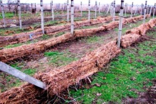 Укрытие на зиму винограда однолетнего. Процедура укрытия винограда