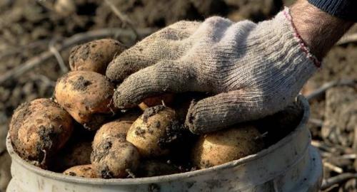 Картофель на зиму сорта хорошие. Какая картошка сможет пролежать всю зиму