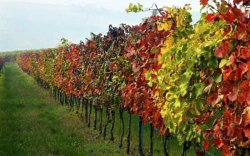 Чем обработать виноград осенью от вредителей и болезней. Подготовительные работы перед укрытием