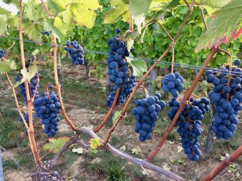 Обрезка винограда осенью двухлетнего. Правильная осенняя обрезка однолетних и двухлетних кустов винограда