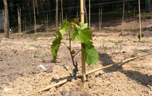 Пересадка винограда осенью в средней полосе. Когда сажать виноград осенью, в каком месяце: оптимальные сроки
