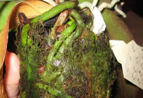 Зеленый налет на земле в горшке. Появление зеленого мха в горшке с орхидеей
