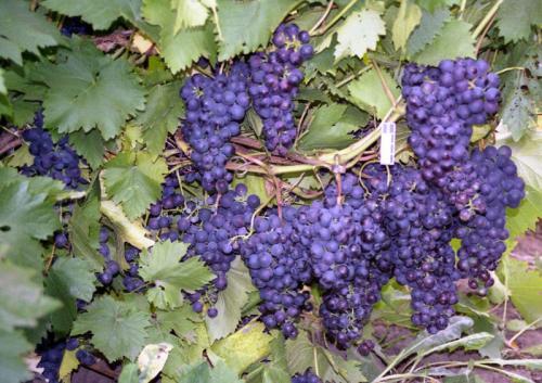 Виноград 2 год. Для чего производится?