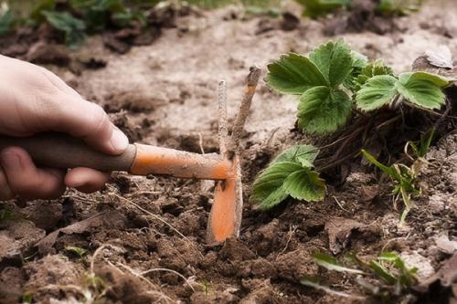 Как подготовить к зиме садовую землянику. Когда начинать подготовку к зиме по регионам