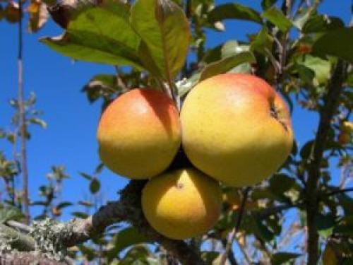 Что делать осенью с яблонями. Уход за яблоней осенью
