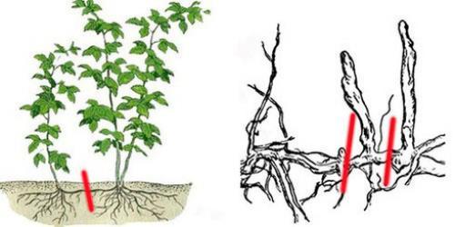 Размножение малины верхушечными отводками. Размножение малины корневыми отпрысками