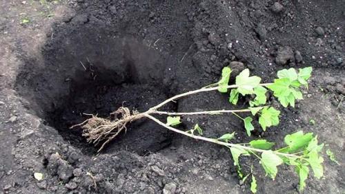 Как посадить смородину из ветки. Технология и сроки заготовки черенков