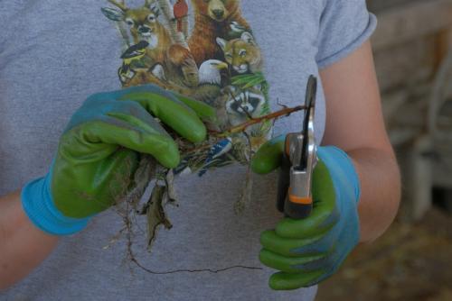 Размножение малины ветками. Размножение малины корневыми черенками