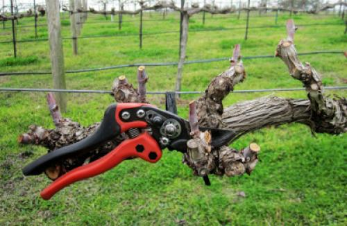 Подготовка винограда на зиму на урале. Осенняя обработка, подготовка к обрезке