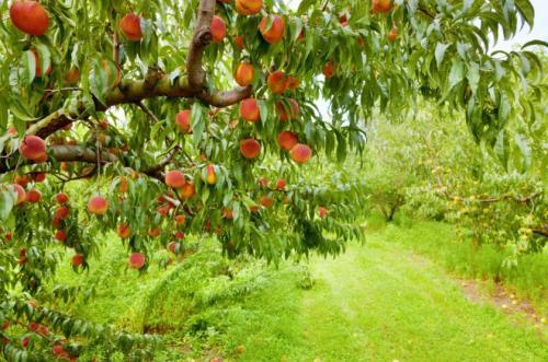 Посадка саженцев осенью персика. Когда лучше всего сажать персик — осенью или весной?