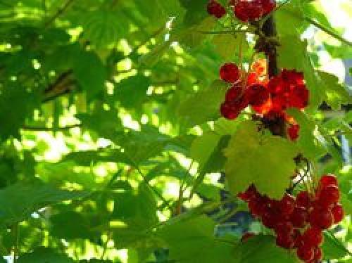 Подкормка смородины красной и черной смородины. Белая и красная смородина – особенности ухода
