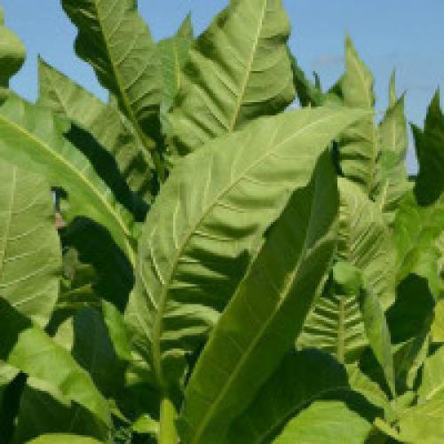 Табак юбилейный новый 142 выращивание. Выращивание табака в домашних условиях