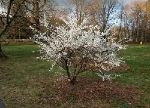 Почему не плодоносит войлочная вишня. Войлочная вишня цветет, но не плодоносит