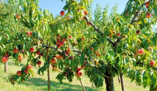 На каком расстоянии друг от друга сажать персики. Что можно сажать рядом с персиком?
