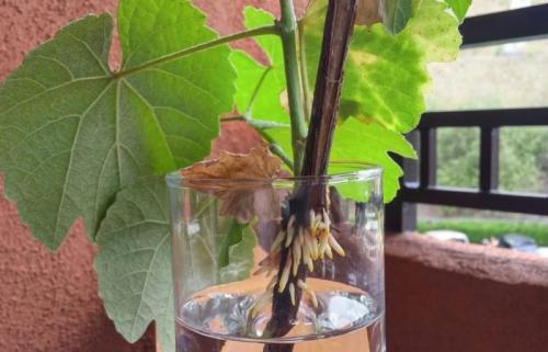 Подготовка черенков винограда к хранению. Где хранить черенки винограда до весны