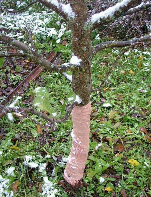 Как укрыть сливу на зиму. Укрытие сливы на зиму