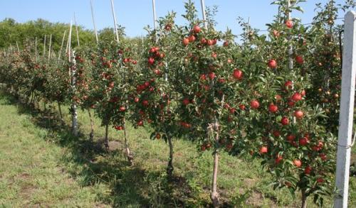 Когда сажать яблоню осенью в подмосковье. Когда лучше сажать яблоню – весной или осенью и от чего это зависит