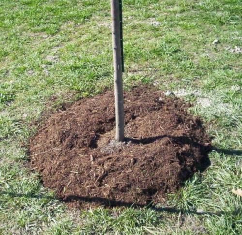 Посадочная яма для яблони осенью. Подготовка места и посадка