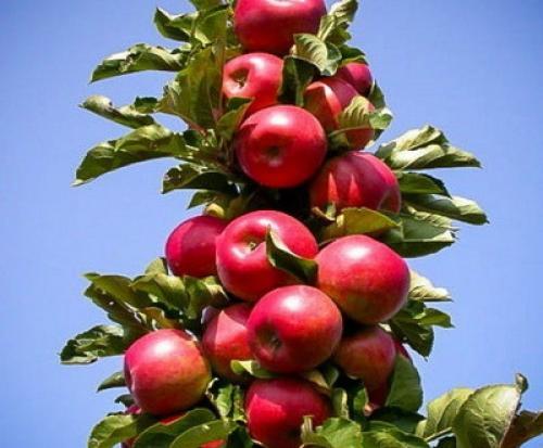 Посадка колоновидных яблонь и груш. Веселый Урожайник выращивание и уход