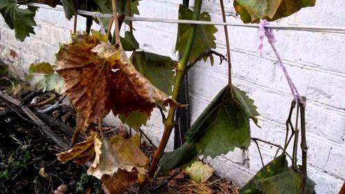 Не вызрел виноград, что делать. Советы виноградарю
