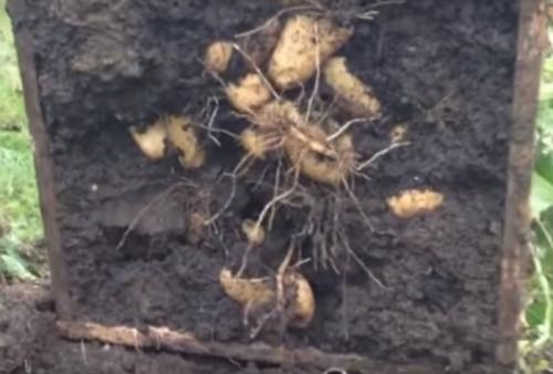 Двухрядная посадка картофеля. Другие схемы посадки картофеля