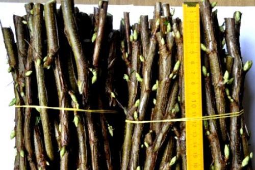 Как размножить черную смородину осенью черенками. Размножение смородины черенками