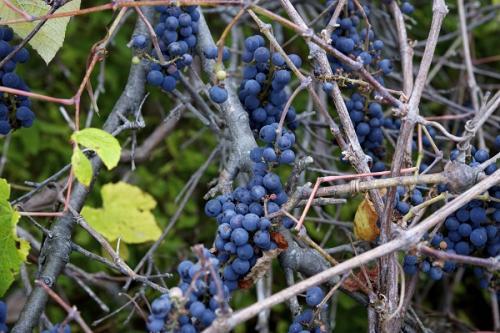 Когда собирать виноград для вина Изабелла. Распространенный сорт Изабелла