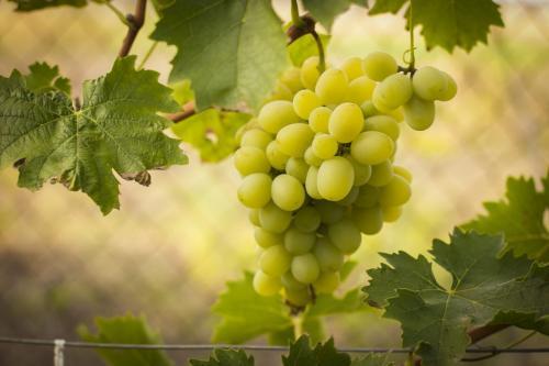 Когда начинает плодоносить виноград. Время начала плодоношения укустарников