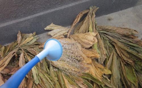 Табак выращивание и переработка. Подготовка табака к ферментации