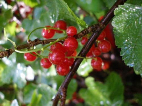 Как посадить смородину из ветки. Как укоренить ветки смородины в воде