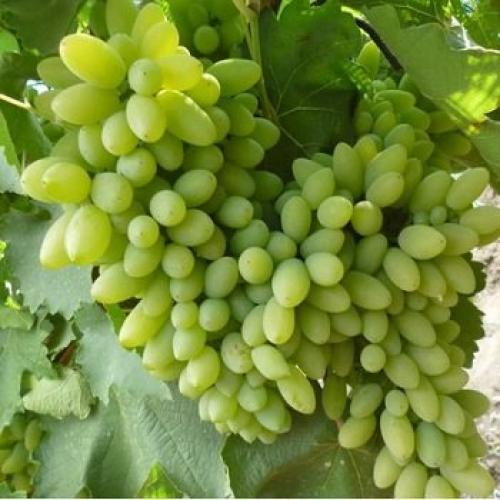 Виноград в ноябре: подзимние мероприятия